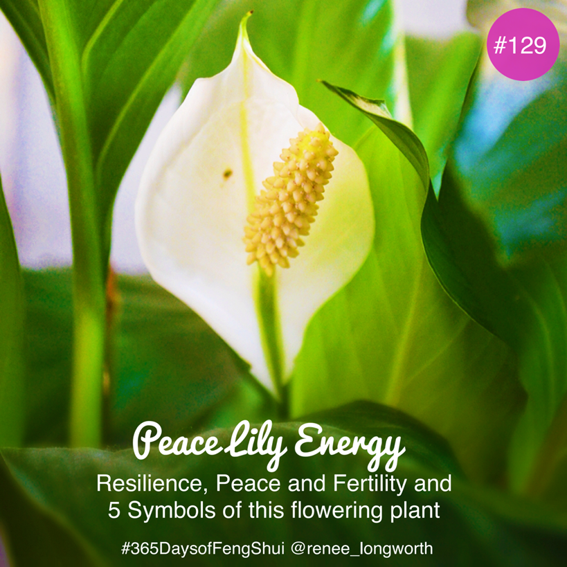 Day 129 Of 365 Days Of Feng Shui Peace Lily